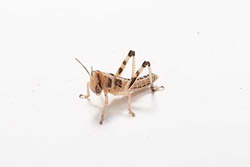 Wüstenheuschrecken klein, Großpackung Futtertiere 100 Stück, Futterinsekten für Reptilien und Vögel...