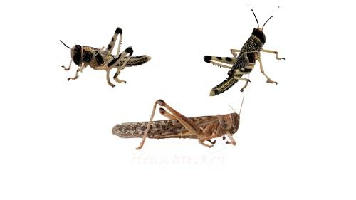 Zoo-Papp Wüstenheuschrecken groß subadult mittel 50 100 Stück lebendfutter Terrarium Besellung bis...