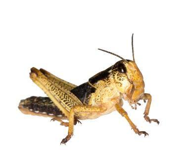 Wanderheuschrecken Heuschrecken Futterinsekten Reptilienfutter (subadult, 12 Stück)