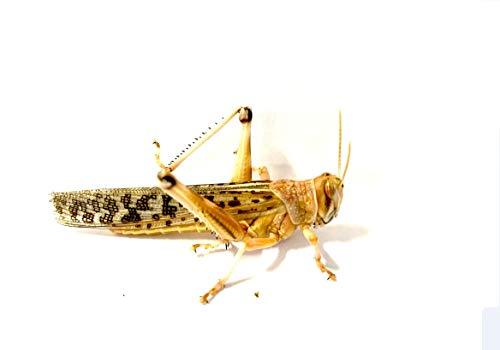 Topbilliger Tiere Wüstenheuschrecke/Heuschrecke/Lebendfutter/Futterinsekten Gross L 5X