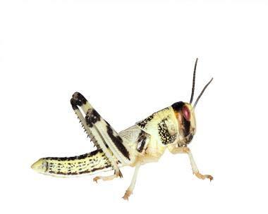 Wüstenheuschrecken Heuschrecken Futterinsekten Reptilienfutter (mittel, 11 Stück)