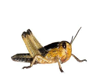 Wanderheuschrecken Heuschrecken Futterinsekten Reptilienfutter (mittel, 13 Stück)