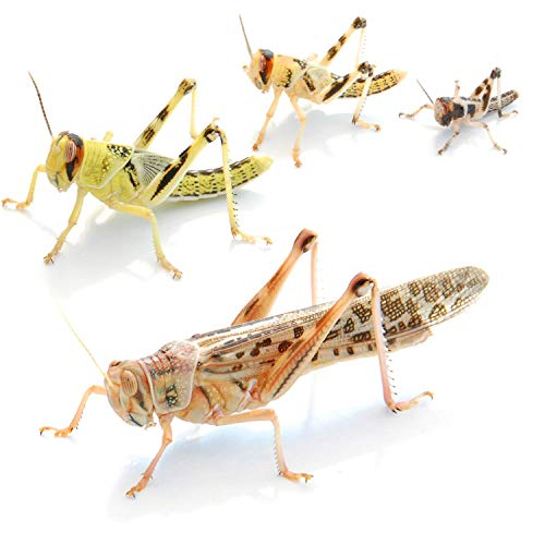 Wüstenheuschrecken groß 25 STK. - Futterinsekten
