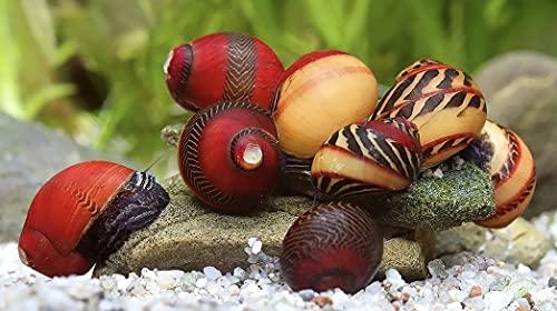 WaterPlants 5 STK. Rote Rennschnecke super Algenfresser und eine Absolute Rarität im Sparpaket Aquarium...