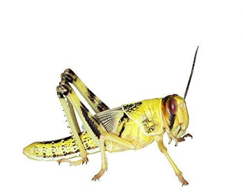 Heuschrecken 50 subadult Wüstenheuschrecken Futterinsekten Reptilienfutter