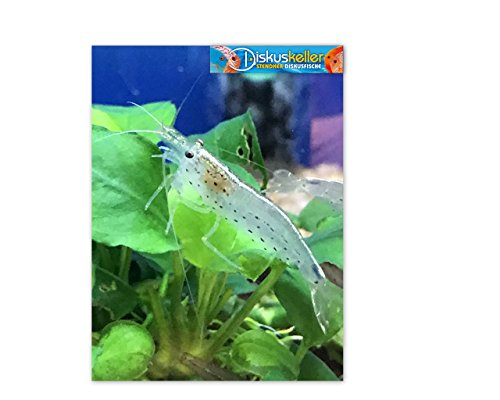 Diskuskeller Amano Garnele - Caridina Japonica XL/super Algenfresser im Aquarium ! 6 Stück