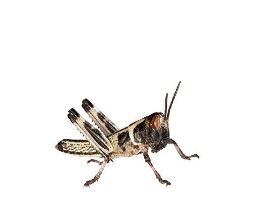 Heuschrecken 15 kleine Wüstenheuschrecke Futterinsekten Reptilienfutter