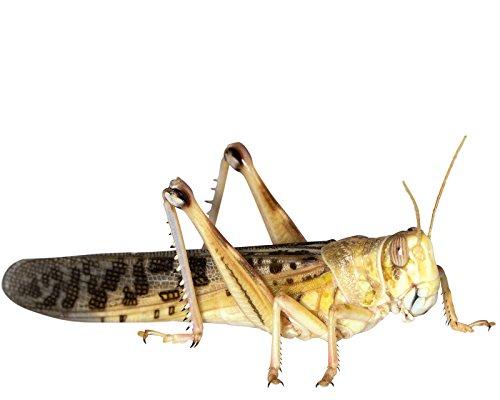 Heuschrecken 50 große Adulte Wüstenheuschrecke Futterinsekten Reptilienfutter