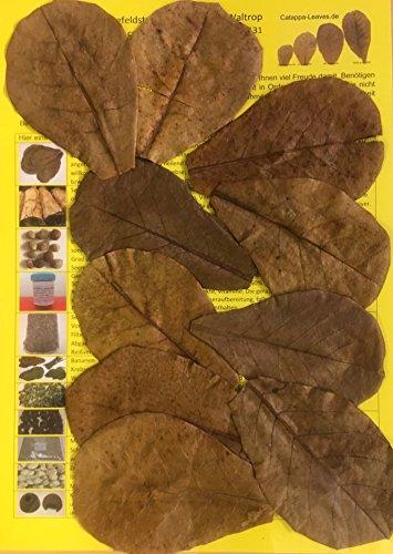 garnelenshop24de 10 Stück Original Seemandelbaumblätter 10cm Catappa Leaves - TOP Qualität - 10-1000...