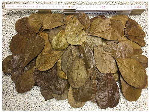 100 Stück Seemandelbaumblätter 6-9cm + viele Gratis (=50gr) Nano Größe jetzt NEU für die Kleinen...
