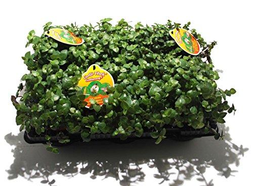 6 x Golliwoog - Futterpflanze für Bartagamen, Vögel , Meerschweinchen, Kaninchen