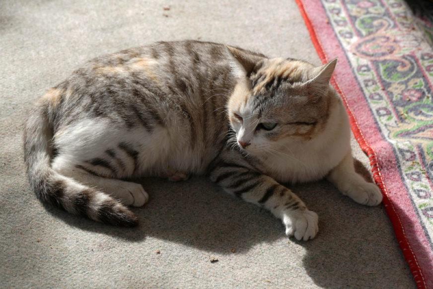 Trächtigkeit bei Katzen