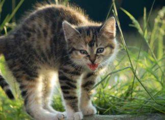 Kätzchen macht Buckel