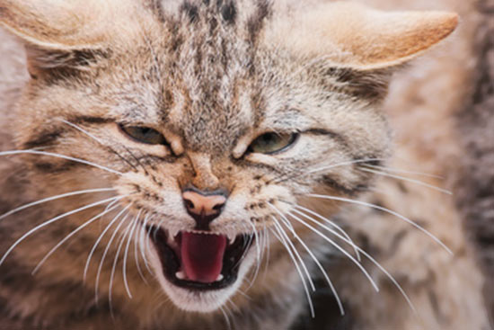Katze faucht