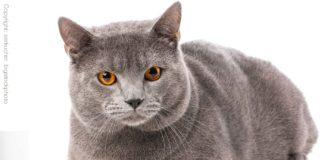 Kartäuser-Katzen