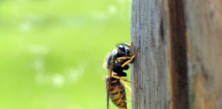 Wespe szicht Hund