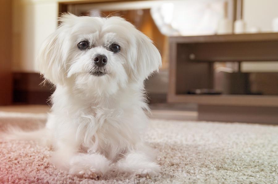 Malteser-Hund