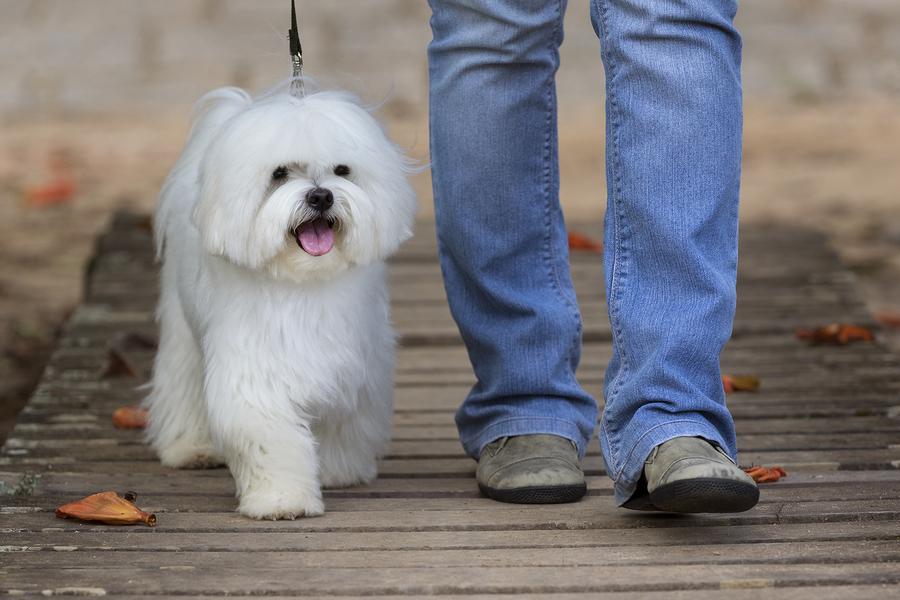 Malteser Hund a