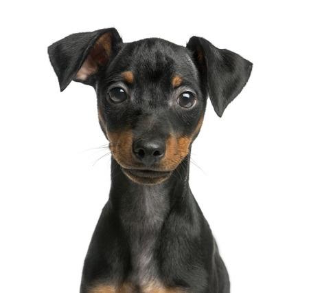 Pinscher Hund