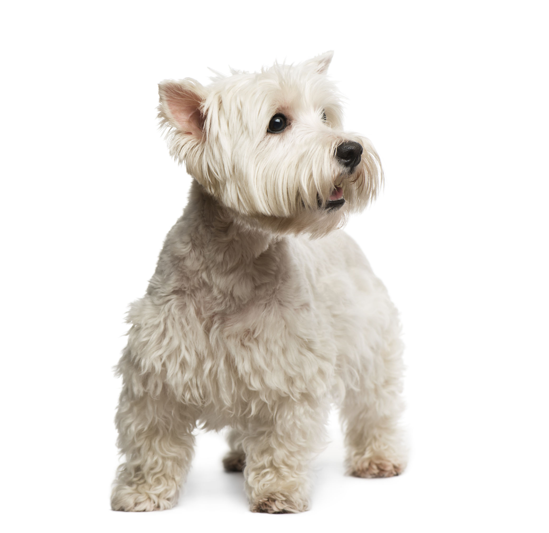 Dog Breeds From Yorkshire Terrier