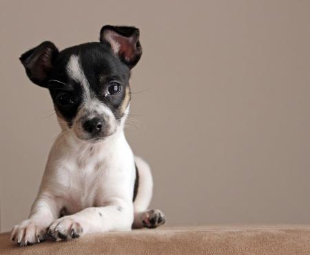 kleine hunderassen f r anf nger und familie   mini hunderassen