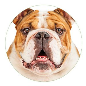 Hunderasse Englische Bulldogge