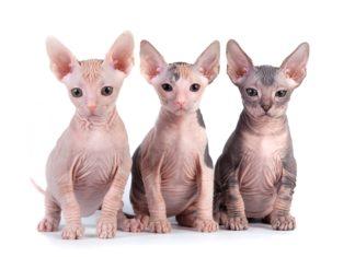 Nackte Katzen