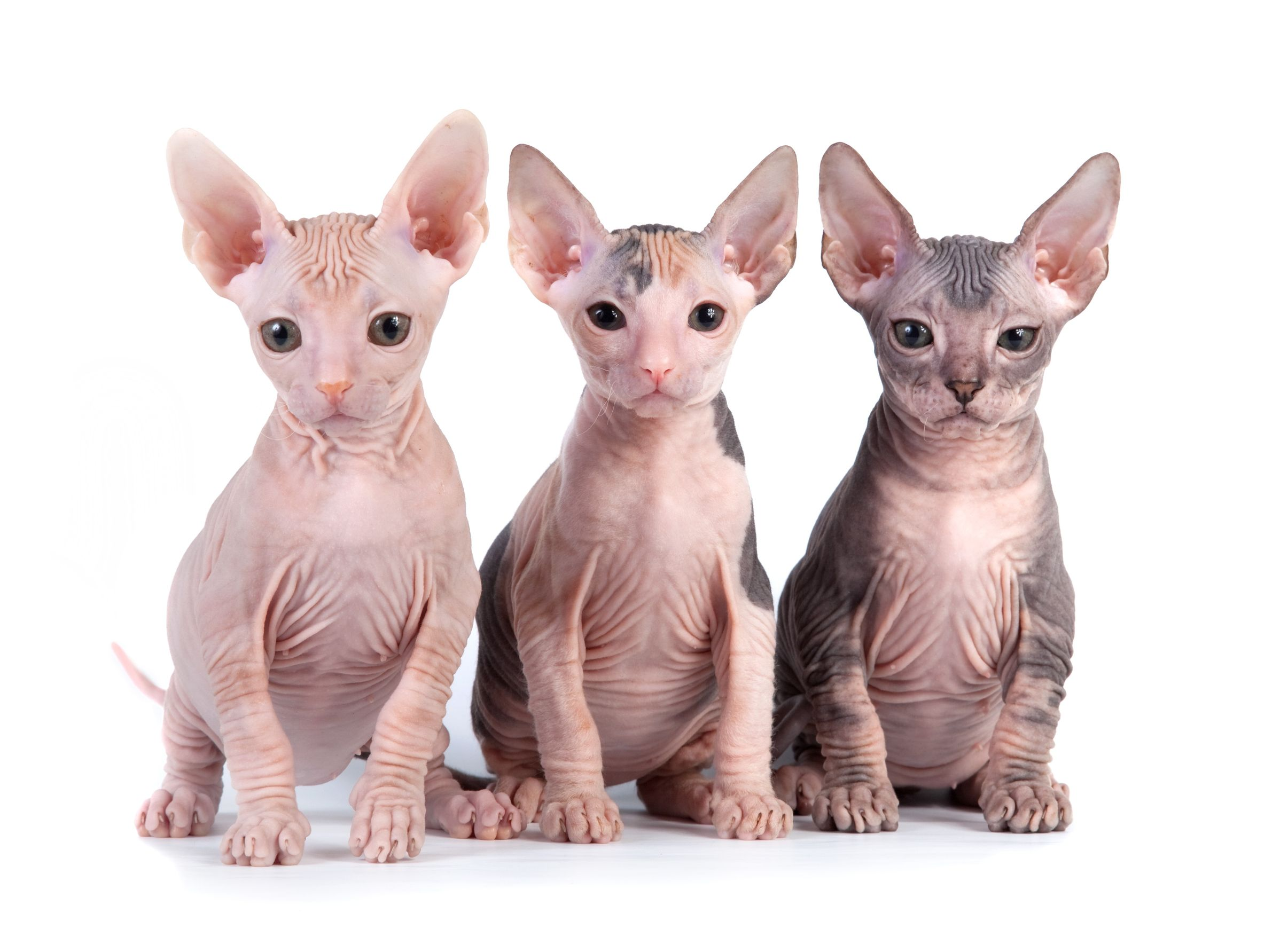 Hairless And Long Hair Cat