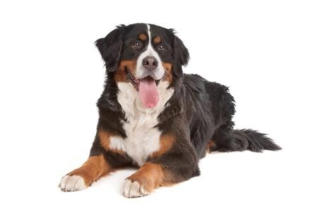Ausgewachsener Berner Sennenhund