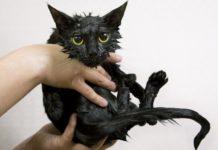 Nasse Katze nach dem baden