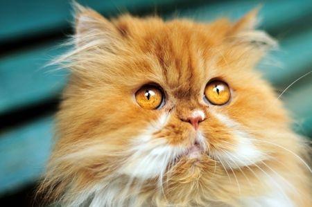 Rote Perser Katze