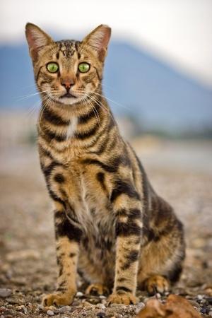 Savannah Cat Video
