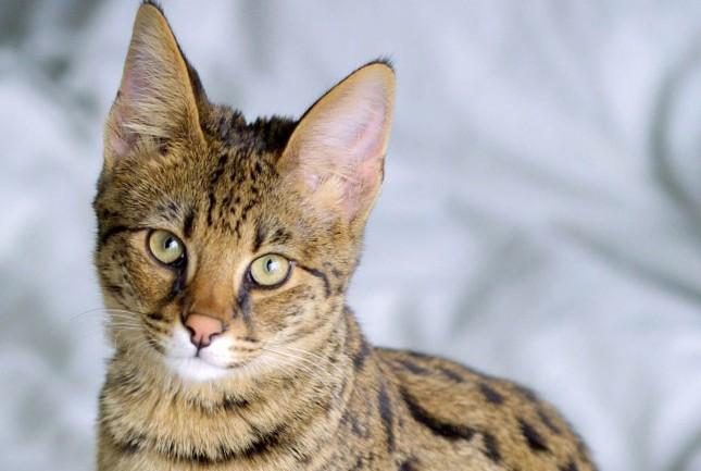 teuerste Katze der Welt