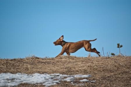 Hund im Freilauf rennt weg