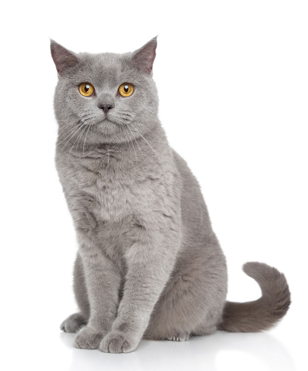 English Shorthair Cat For Sale