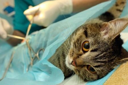 Operation der Katze