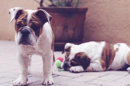 Englischen Bulldogge © Andrea Berger - Fotolia.com