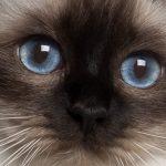 Die Heilige Birma Katzen – Rasse Überblick, Wesen und Historisches