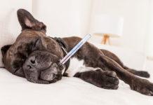 Richtig Fieber messen Hund