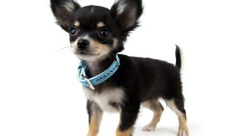 Chihuahua Haltung