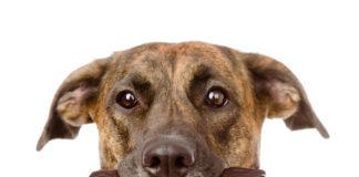 Schokoladen Vergiftung Symptome bei Hunden