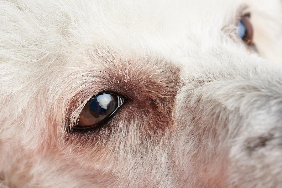 Bindehautentzündung bei einem Hund