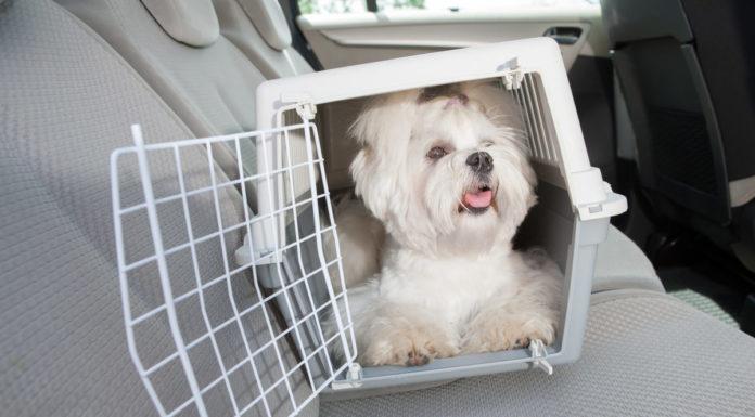 Welpen nach Hause im Auto