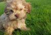 Unser Hundewelpe mit 9 Wochen