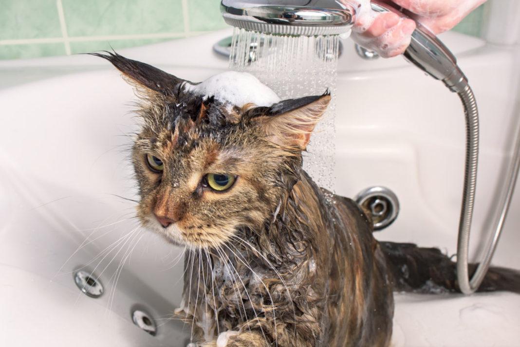 Wie oft sollte man Katzen baden?