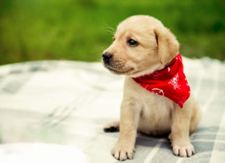 Labrador stubenrein bekommen