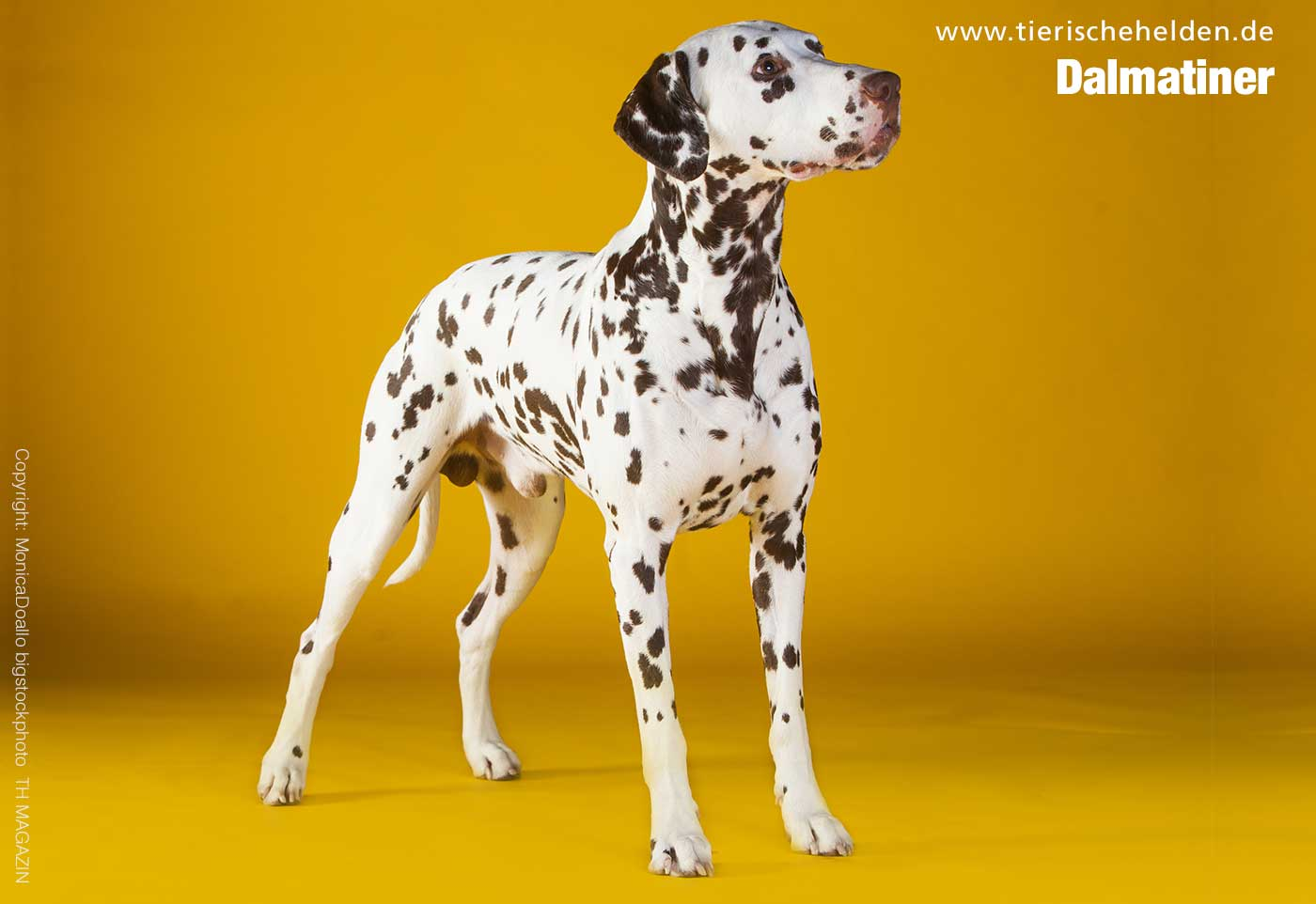Dalmatiner Hunderasse