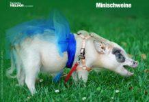 Minischweine in der Wohnung halten