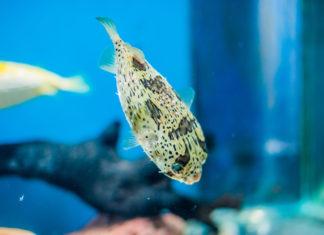 Kugelfisch Haltung