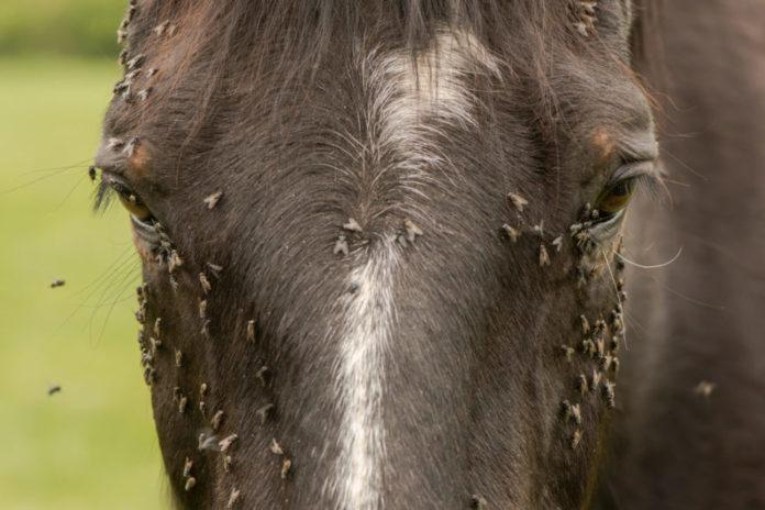 Insektenstich beim Pferd